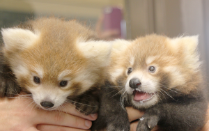 Red pandas. Photo by Mary Beth Roach.