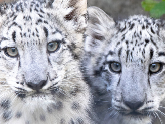 Snow leopards at Rosamond Gifford Zoo. Photo by Terri Redhead.