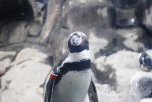 Zoo penguin. Photo by Mary Beth Roach.