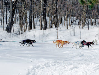 Dog sledding demo by Cupcake Mushing, run by Nancy and Ray Stark of Lacona.