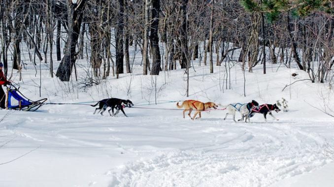 Dog sledding demo by Cupcake Mushing, run by Nancy and Ray Stark of Lacona.
