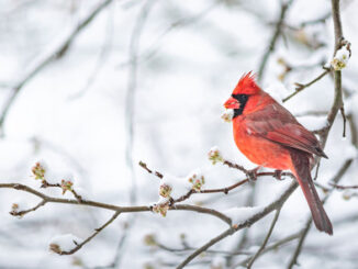 One red northern cardinal bird perches on a tree branch during heavy winter snow. Getty Images
